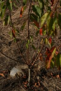 prunus mahaleb injertado